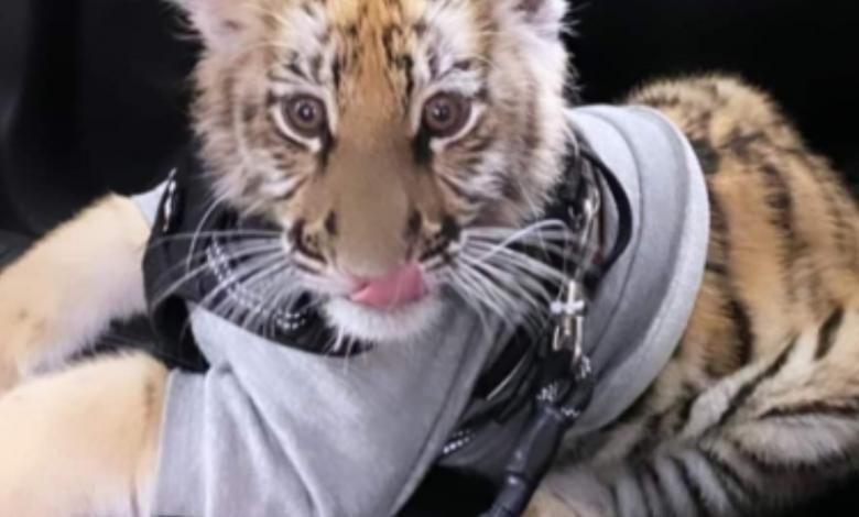 Mujer enciende las redes sociales al pasear un cachorro de tigre
