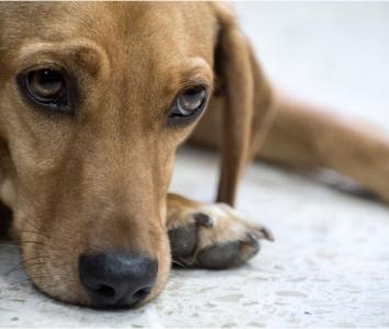 El animal fue encontrado desnutrido, flaco y cubierto de pulgas.
