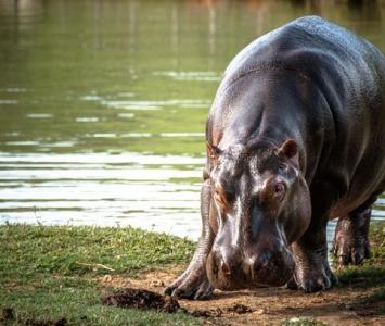 Hipopótamo en el Magdalena Medio colombiano.