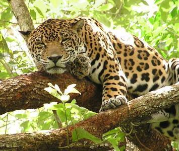 Jaguar, especie en peligro de extinción.