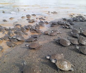Tortugas liberadas en el río Sinú.