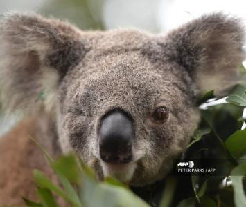 Koalas australianos