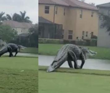 La verdad detrás del enorme caimán que apareció en campo de golf y causó pánico