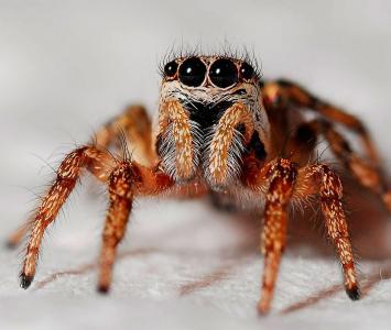 Terrorífica araña, la mascota de un joven en Australia