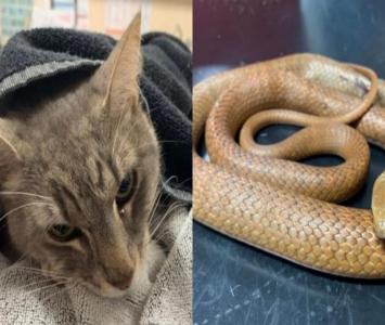 Gato murió tras salvar dos niños de venenosa serpiente