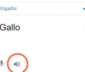 Graciosa traducción de 'gallo' en traductor de Google