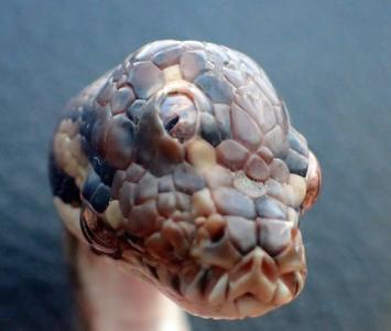 Serpiente de tres ojos