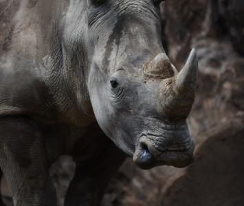 Rinoceronte/referencia